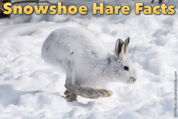 Snowshoe Hare Facts Information Pictures Amp Video