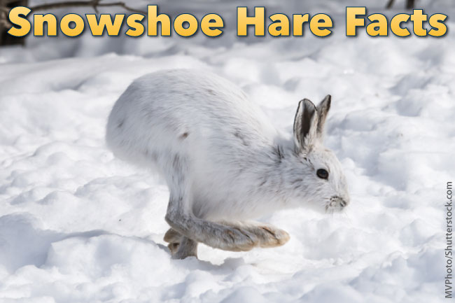 Snowshoe Hare Facts