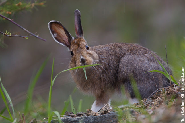 Snowshoe Hare Summer Coat