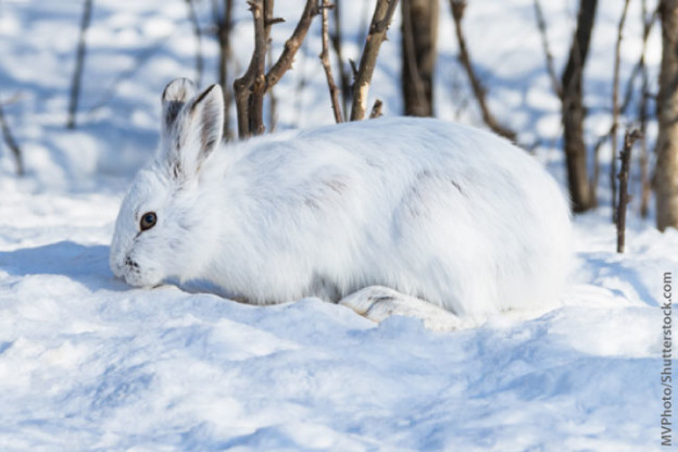 the habitat and food intake of the snowshoe hare