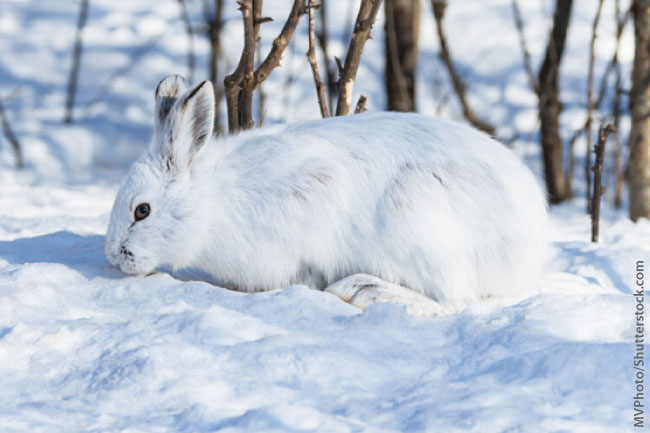 Snowshoe Hare Winter Coat