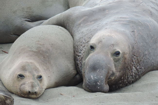 Antarctic Seals include the Southern Elephant Seal: the world's largest Carnivoran.