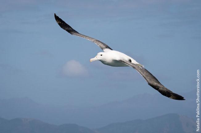 Wandering Albatross Antarctic