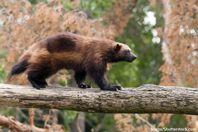 Wolverine in a tree