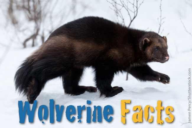 Wolverine Facts For Kids