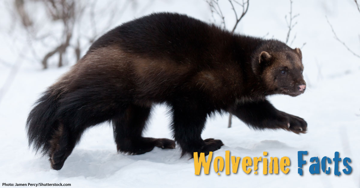 wolverine facts for kids with pictures  information  u0026 video