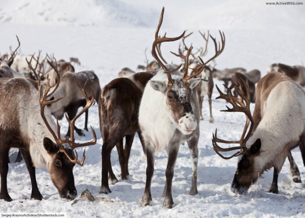 wild caribou herd