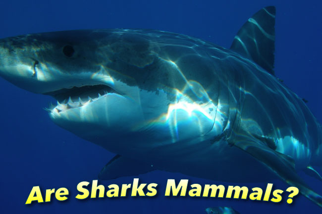 Are Sharks Mammals Or Fish? What Kind Of Fish Is A Shark?