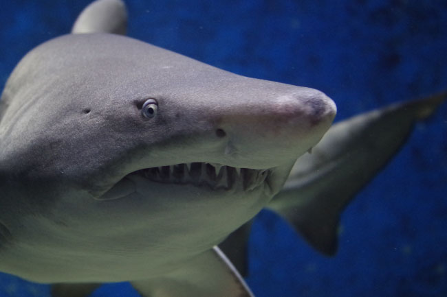 Cold Blooded Animal Shark