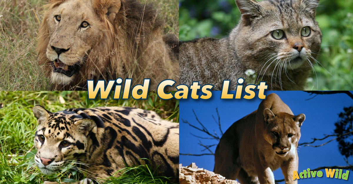 wild cats list with pictures  u0026 facts  all types of wild cats