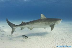 Online zoo - Tiger Shark