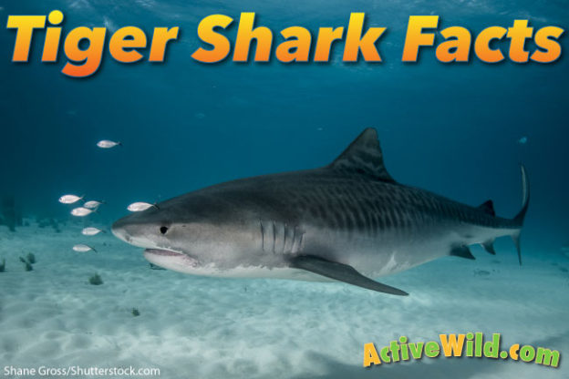 Great white shark pictures for kids