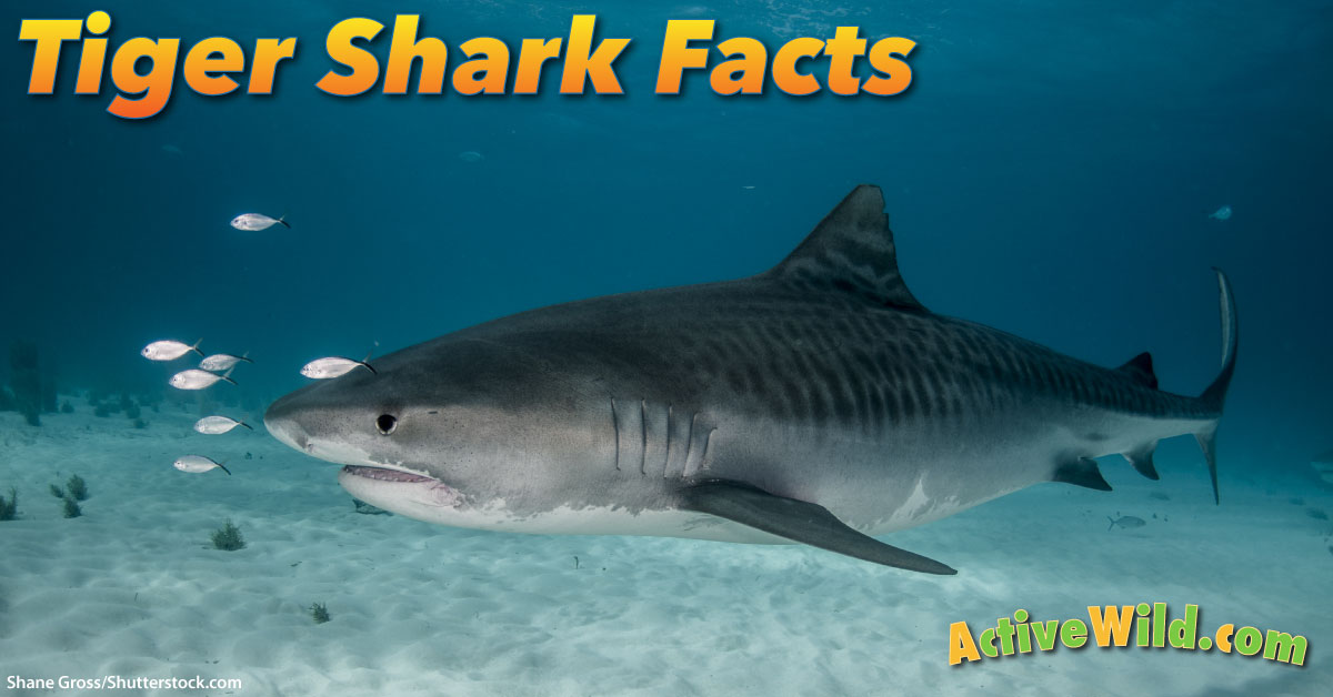 tiger shark facts for kids pictures information amp video