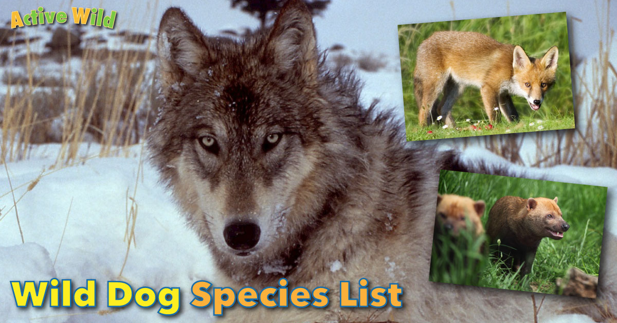 Wild dog species list with pictures types of wild dogs for Types of dogs with photos