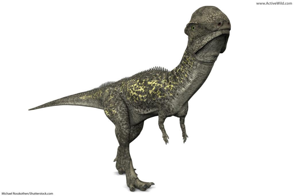 Stegoceras Pachycephalosaurid