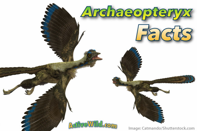 Archaeopteryx Facts Pictures Amp Information For Kids