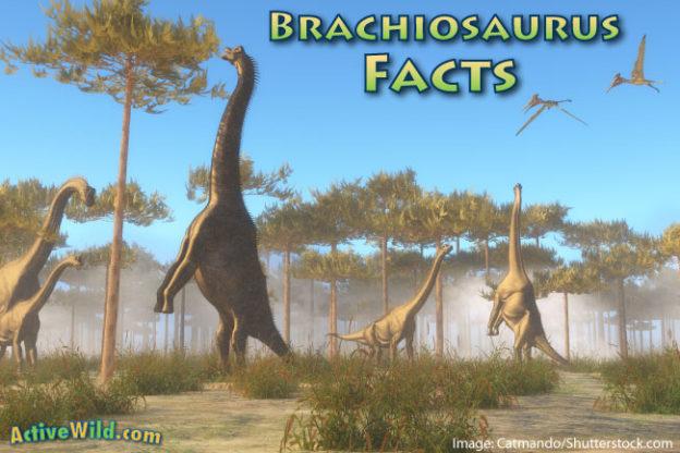 624 x 416 jpeg 67kBBrachiosaurus