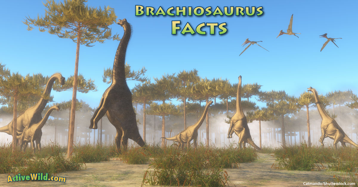 Brachiosaurus Facts For Kids Students Amp Adults