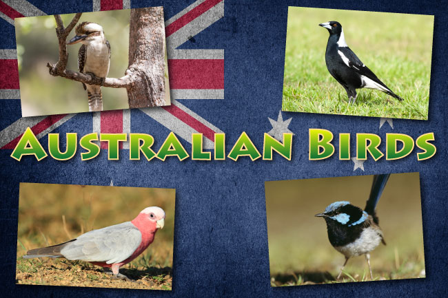 Australian Birds List With Pictures, Facts & Information