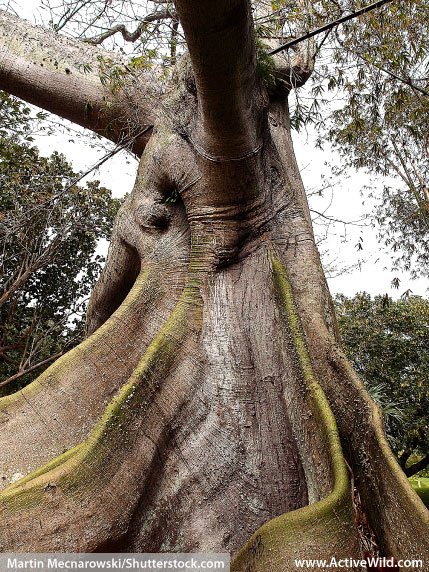 Buttress Roots Kapok