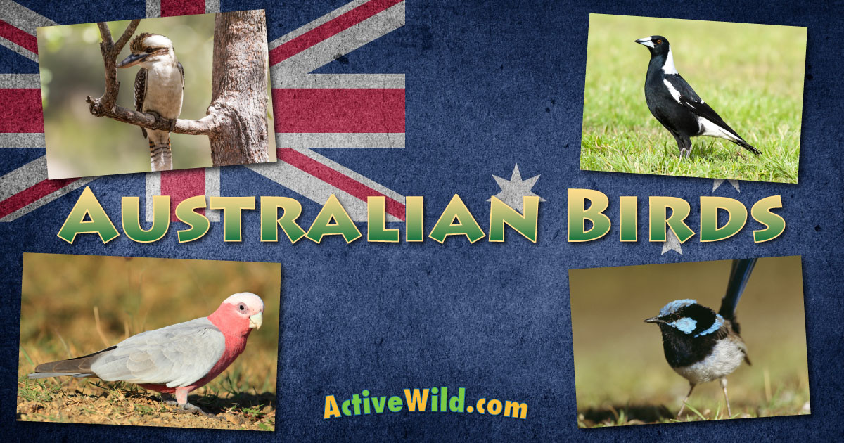 australian birds list with pictures  facts and information