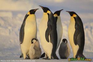 Online Zoo Emperor Penguin