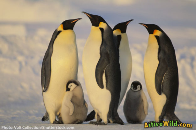 Emperor Penguin Facts For Kids Students Adults Active Wild. Emperor Penguin Facts For Kids Students Adults. Worksheet. Penguin Heat Transfer Worksheet At Clickcart.co