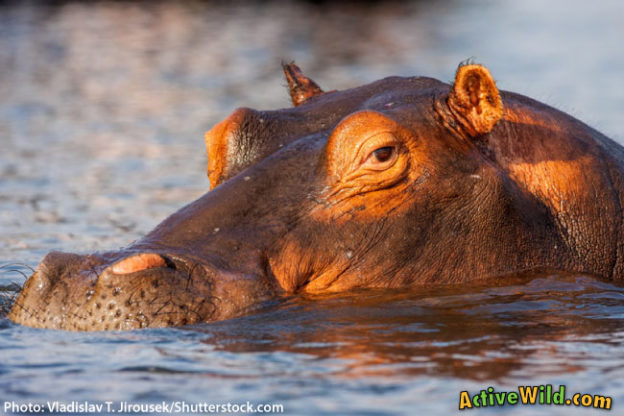 Hippo Facts, Pictures & Video: Hippopotamus Info For Kids & Adults