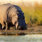 Hippopotamus online zoo