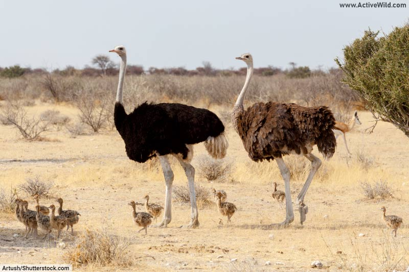 These ostriches are dinosaurs