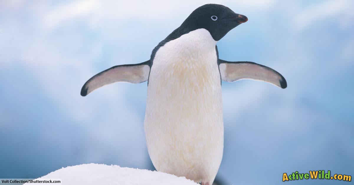 Adu00e9lie Penguin Facts For Kids u0026 Adults: Pictures, Information u0026 Video