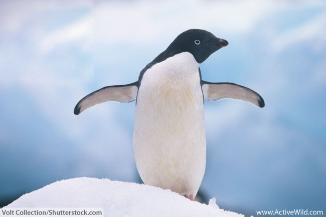 Adelie Penguin Facts For Kids