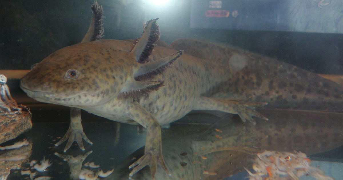 Axolotl Facts For Kids Endangered Amphibian Info Pictures Video