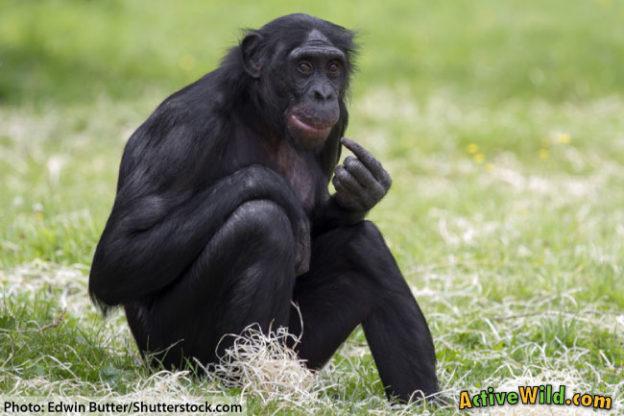 Primate Bonobo