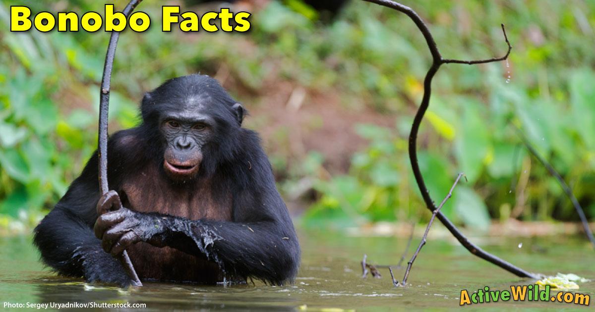 Bonobo Information  Facts  Pictures  U0026 Video  Meet Man U0026 39 S