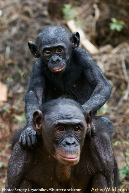 Bonobo Mother And Baby