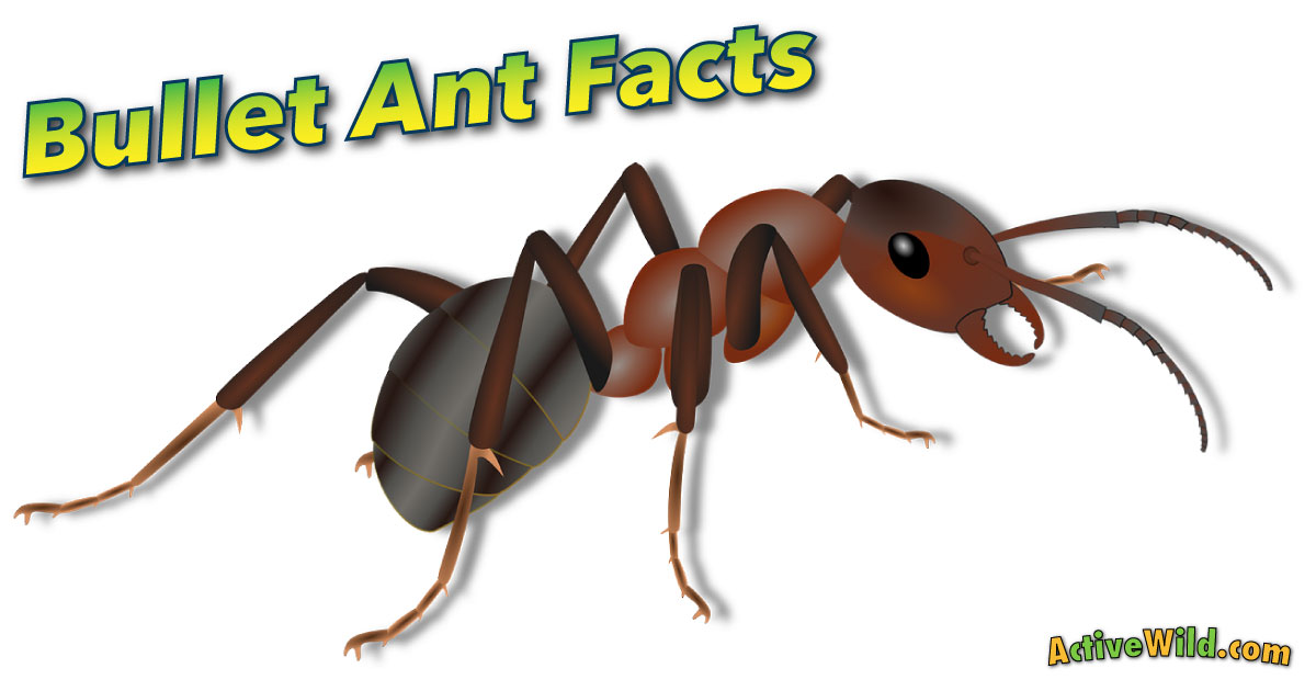Bullet Ant Facts For Kids u0026 Adults: Pictures, Information ...