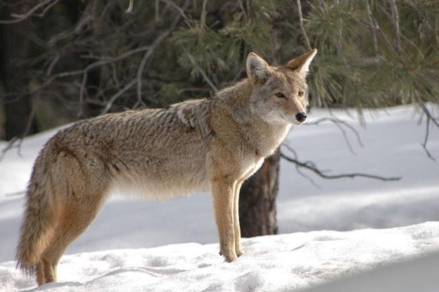 Coyote Facts For Kids