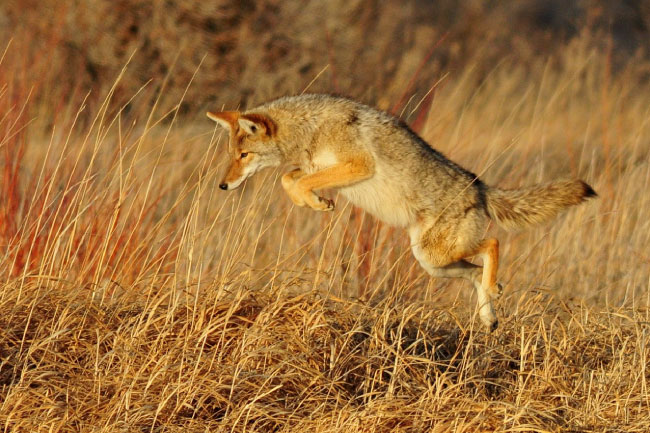 Coyote Jumping Hunting