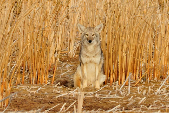 Coyote Sitting