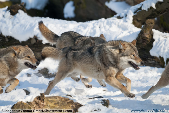 Eurasian Wolf Pack