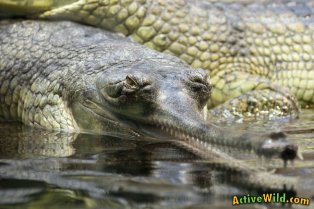Gharial Facts For Kids Amp Adults Pictures Information Amp Video