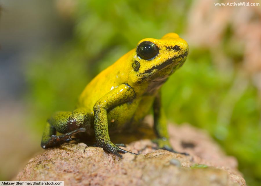 golden poison frog facts for kids adults pictures information