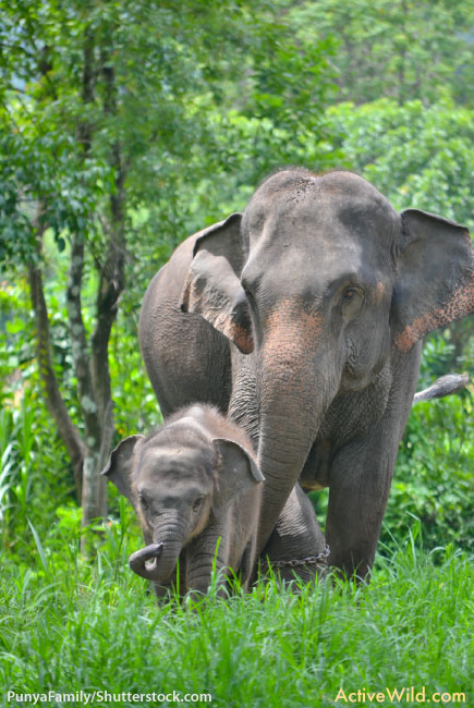 Indian Elephant Mother And Baby