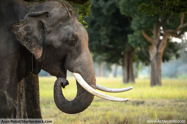 Indian Elephant tusks