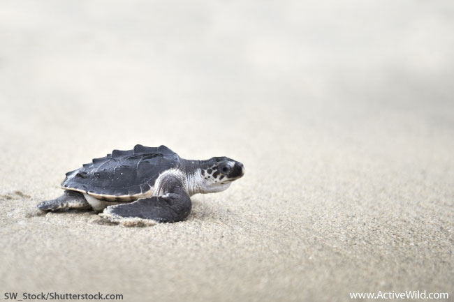 Olive Ridley Sea Turtle Hatchling