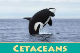 Virtual Zoo Cetaceans
