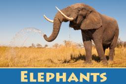 Online Zoo Elephants