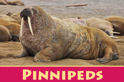 Online Zoo Pinnipeds
