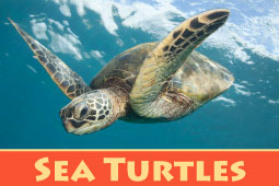 Online Zoo Sea Turtles